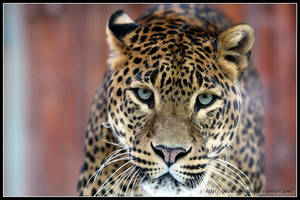 A leopard is watching you by AF--Photography
