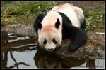 Thirsty panda