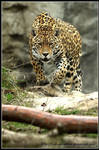 Stalking Jaguar