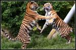 Dancing tiger cubs PRESENT