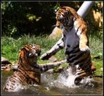 The cobra tiger