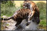 Tiger tackle