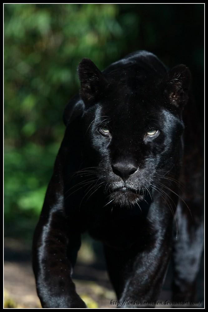 Black jaguar I by AF--Photography on DeviantArt - photo#27