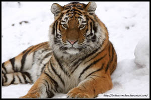 The beauty of a tiger by AF--Photography