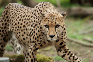 Cheetah approach by AF--Photography