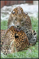 Leopard love by AF--Photography
