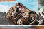 Jaguars: Unconditional Love