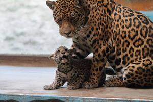 Jaguars: Respect by AF--Photography