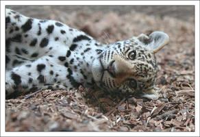 Jaguars: Dreamy by AF--Photography