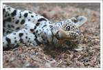 Jaguars: Dreamy