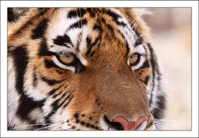 Eyes of the tiger by AF--Photography