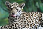 Jaguar cub II