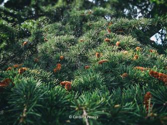 Fir Branches by GreenlandsGirl