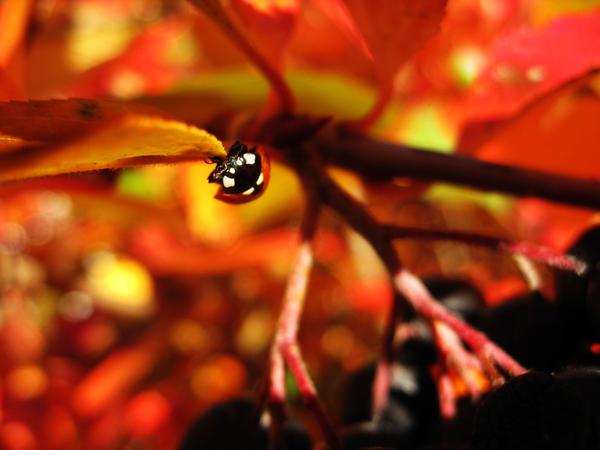 Ladybug by wulfila