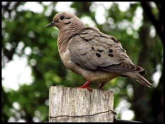 Pretty Dove by LuciRamms