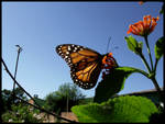 The Morning of a Monarch 1