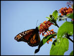 The Morning of a Monarch 2
