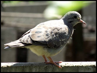 Baby Dove 2 by LuciRamms