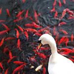Swan lake by jussta