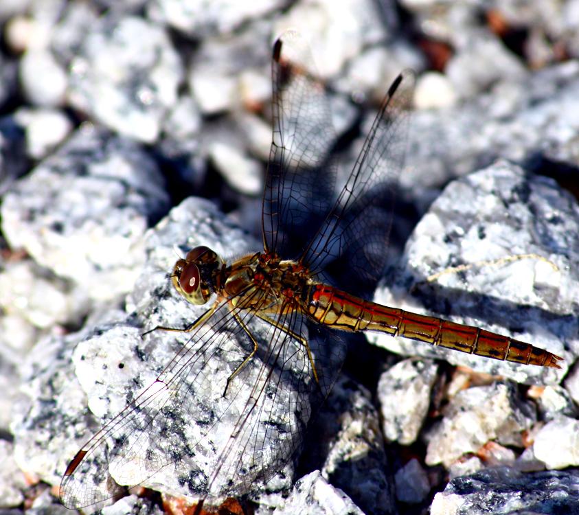 dragonfly_by_hellraidgr.jpg