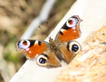 Butterflai