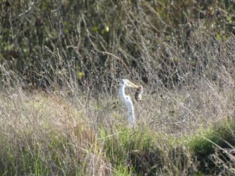 An Egret Thanksgiving