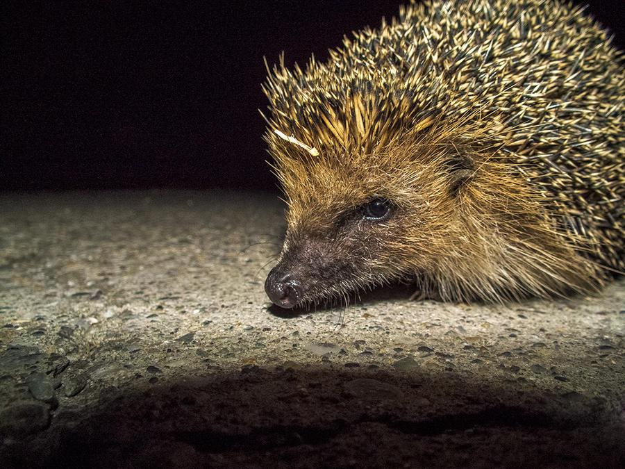 Do Hedgehogs Eat Dog Food