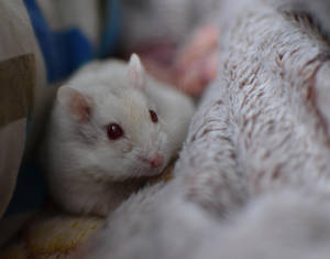 Hamster Charlie 1