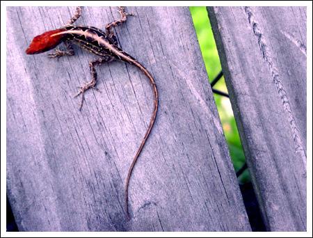 Lizard by JessicaM