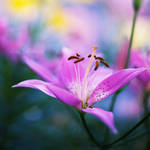 lily by nakedlady