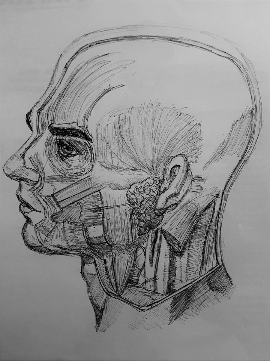 anatomy_study___head_1_by_andersonmpns-d