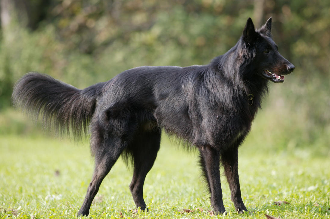 http://pre15.deviantart.net/fb7f/th/pre/i/2008/335/7/0/concentrated_belgian_shepherd_by_kjutichen.jpg