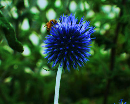 The Bluest Thistle