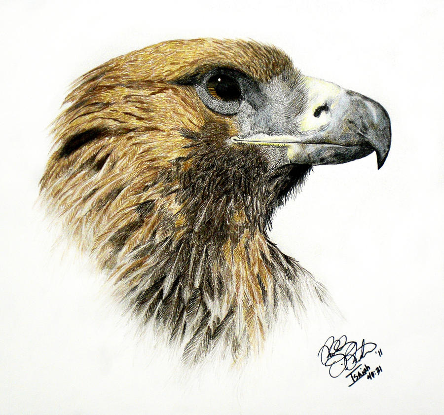 Animal Study: Golden Eagle by EagleFlyte