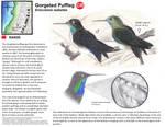 Gorgetted Puffleg- Eriocnemis isabellae by EagleFlyte