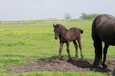 Friesian Foal 1 by PerfectionStock