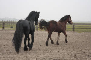 Friesian Stallion 13 by PerfectionStock