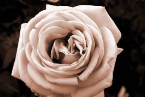 Rose by peanuthorst