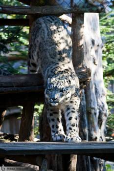 Snow leopard, Amneville zoo