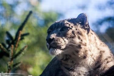 Snow leopard portrait, Amneville zoo