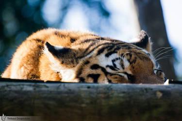 Sleeping sumatran tiger, Amneville zoo