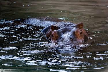 Hippopotamus, Amneville zoo