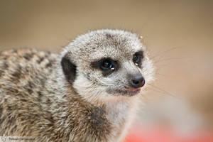 Meerkat, Amneville zoo