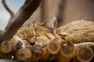Sleeping sand cat, Amneville zoo