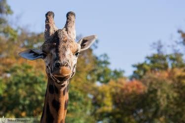 Giraffe portrait, Amneville zoo