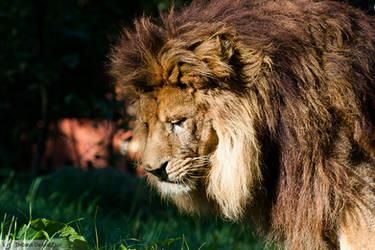 Lion portrait, Amneville zoo