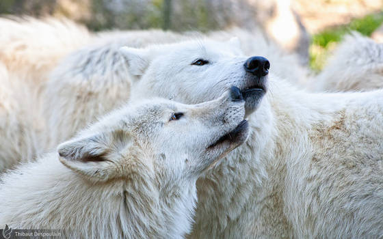 Arctic wolves, Amneville zoo