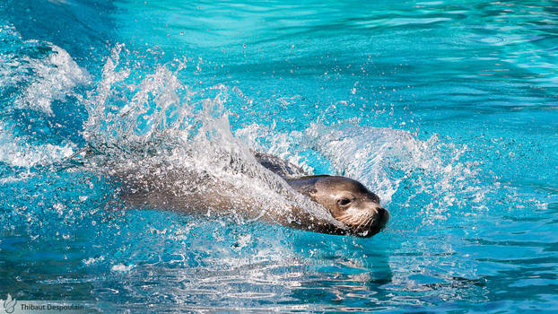 California sea lion, Amneville zoo