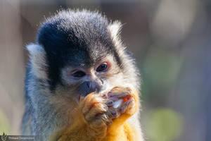 Common squirrel monkey, Amneville zoo