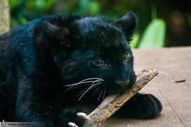 Black leopard cub, Amneville zoo by BKcore